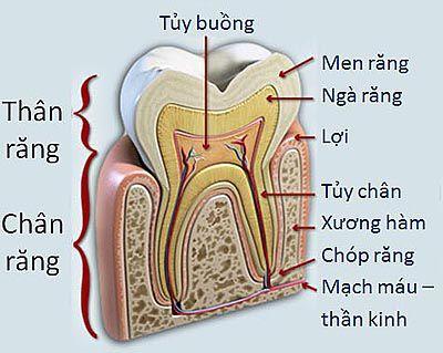 Chửa tủy răng cửa trong vòng bao lâu ?